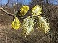 Salix caprea sl17.jpg