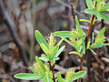 Salix pedicellaris 5472344.jpg
