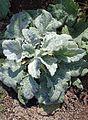 Salvia argentea kz2.jpg