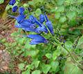 Salvia cacaliifolia, the Blue Vine Sage (10461546315).jpg