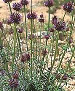 Salvia columbariae.jpg