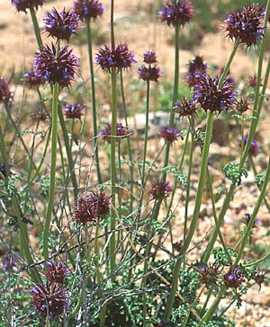 Salvia columbariae - Image: Salvia columbariae