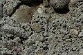 Sarcogyne regularis (25763765057).jpg
