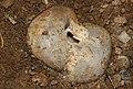 Sarcosphaera-coronaria-kronenbecherling.jpg