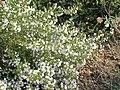 Satureja montana2.jpg
