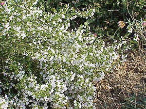 Winter savory - Image: Satureja montana 2