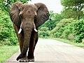 Savanna Elephant (Loxodonta africana) bull ... (51150050046).jpg