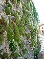 Saxifraga trifurcata 4 (Picos de europa).jpg