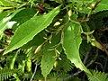 Scaevola chamissoniana (5210125826) (2).jpg