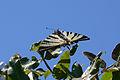 Scarce Swallowtail butterfly - 2013'05'20-13h42m45s.jpg