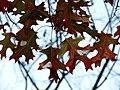 Scarlet Oak (30933168412).jpg