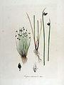 Scirpus setaceus — Flora Batava — Volume v13.jpg