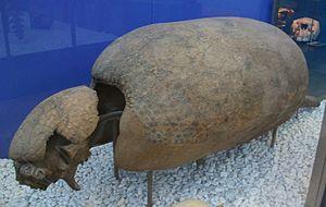 Neosclerocalyptus - Image: Sclerocalyptus ornatus, gliptodòntid, Museu de Ciències Naturals de València