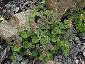 Scutellaria indica parviflora 6.JPG