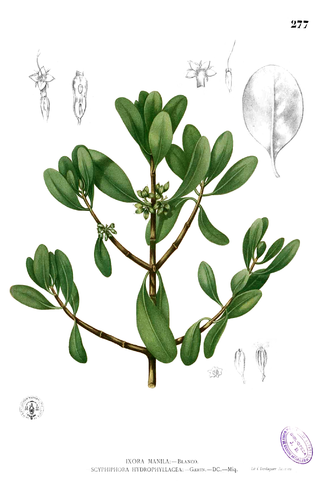 """Rajahnate of Maynila - Plate depicting the """"nila"""" plant (Scyphiphora hydrophylacea), from Augustinian missionary Fray Francisco Manuel Blanco's botanical reference, """"Flora de Filipinas"""""""