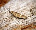 Scythris scopolella (28793371876).jpg