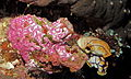 Sea Squirt (Polycarpa pigmentata) covered by another Pink Tunicate (Didemnum sp.) with two (Polycarpa aurata) on the right (8481766744).jpg