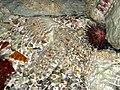 Sea urchin (3767517629).jpg
