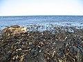 Seaweed covered rocks, Chapel Point - geograph.org.uk - 1329886.jpg