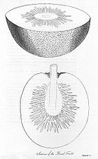 Two drawings of the inside of a breadfruit plant, showing the plant's thin outer skin, a thick white layer beneath the skin and a darker area near the core of the fruit