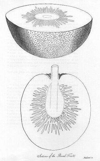 """Peter Heywood - Sections of the breadfruit plant, from Bligh's voyage account, drawn by an artist only identified as """"Mackenzie"""""""