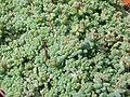 Sedum dasyphyllum (1) 1.JPG