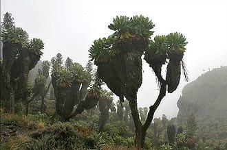 Dendrosenecio kilimanjari - Image: Senecio kilimanjari Barranco