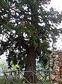 Sequoia gigante presso Campomaggiore vecchio.jpg