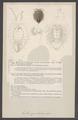 Serolis gaudichaudii - - Print - Iconographia Zoologica - Special Collections University of Amsterdam - UBAINV0274 006 03 0046.tif