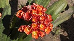 Sevilla Parque de María Luisa Clivia 21-03-2011 13-58-51.jpg