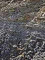 Shale-siltstone-sandstone (Logan Formation, Lower Mississippian; Jackson North roadcut, Ohio, USA) 1 (37468354526).jpg