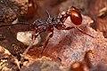 Shattuck 52964, Acanthomyrmex, Danum Valley, Sabah-web (5042965306) (2).jpg