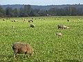 Sheep, Hurley - geograph.org.uk - 648233.jpg