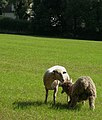 "Sheep-shearing epilogue-""Mummy, I hardly knew yer"" - geograph.org.uk - 1381448.jpg"