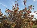 Shepherdia argentea — Matt Lavin 005.jpg