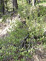 Shepherdia canadensis 2.jpg
