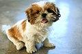 Shih Tzu puppy - 20070802.jpg
