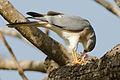 Shikra; Accipiter badius.jpg