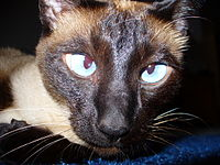 This Siamese cat demonstrates the once common cross-eyed traits that has been largly eliminated today through selective breeding.
