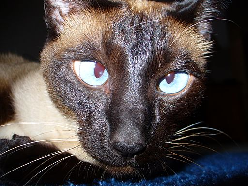Siamese Cat Cross-Eyed feline seizures