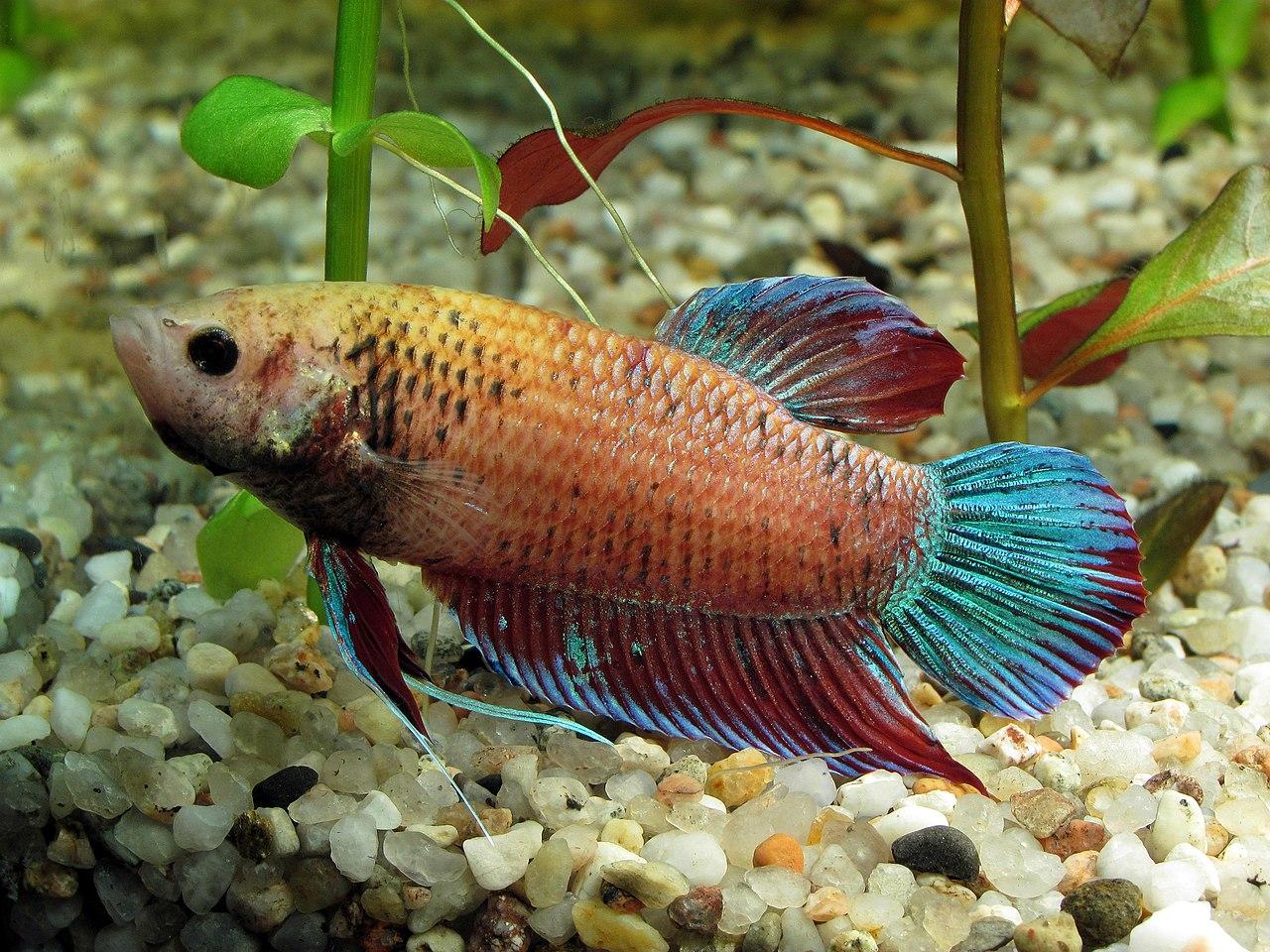 File siamese fighting fish betta splendens female orange for Kampffisch betta splendens