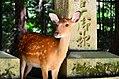 Sika deer in Nara 03.jpg