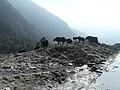 Sikkim yak.jpg