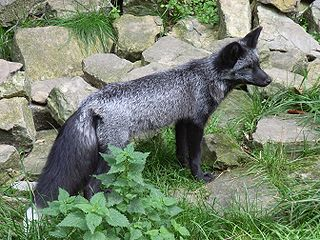 Silver fox (animal) melanistic form of red fox