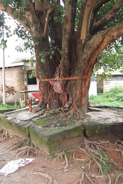 Siliguri-peepal-tree-3.JPG