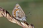 Silver-studded blue or Idas blue (Plebejus sp.) female underside Sweden 2.jpg