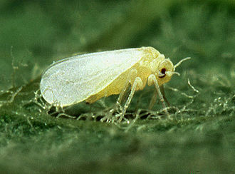 Silverleaf whitefly - Image: Silverleaf whitefly