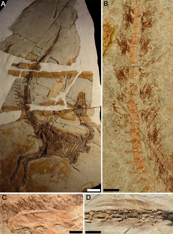 Sinosauropteryx plumage fossils