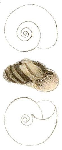 Sinployea decorticata shell.jpg