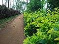 Sitargundu Estate, Kollengode South, Kerala 678508, India - panoramio (11).jpg